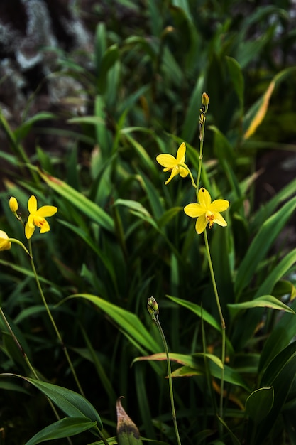 Beautiful orchid. yellow spathoglottis orchid in the forest Premium Photo
