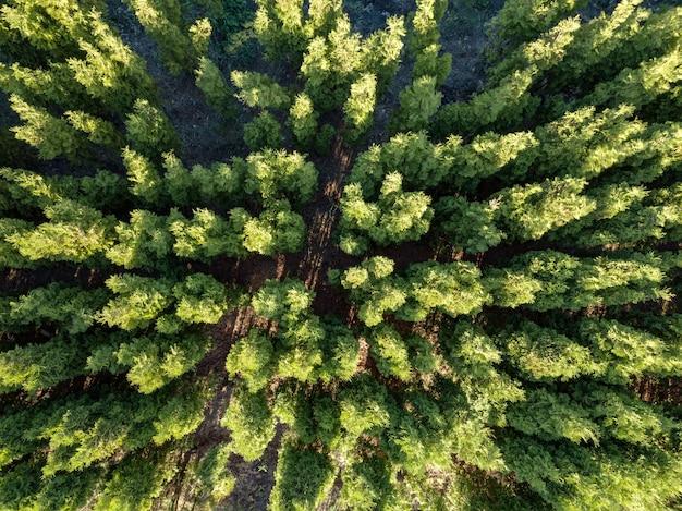 소나무 숲 꼭대기에 아름다운 파노라마 사진. 프리미엄 사진