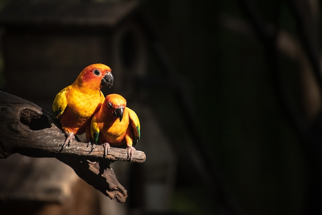 Beautiful parrot, sun conure on tree branch Premium Photo