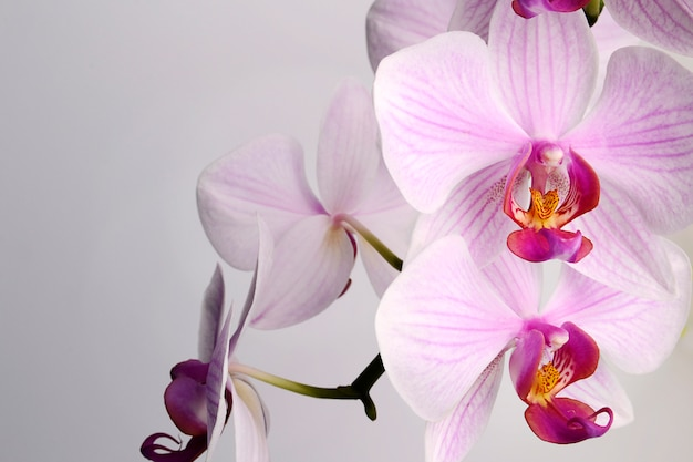 Beautiful phalaenopsis orchid flowers, isolated on white background Premium Photo