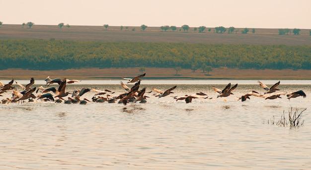 Красивое фото летающих пеликанов над озером в восточной европе. Premium Фотографии
