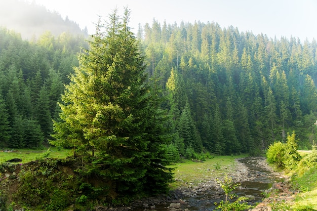 Beautiful pine trees on  mountains Free Photo