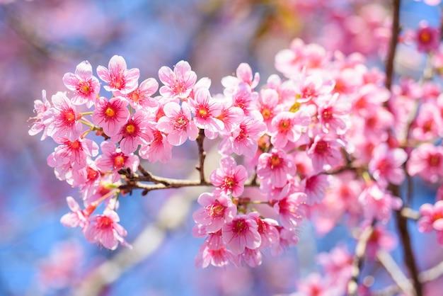 Beautiful pink cherry blossom or sakura flower blooming in blue sky beautiful pink cherry blossom or sakura flower blooming in blue sky on nature background premium photo mightylinksfo