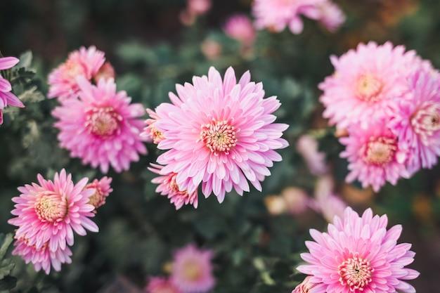 美しいピンクの菊。 Premium写真