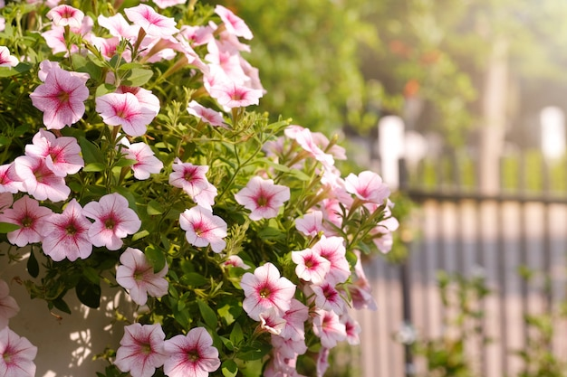 Beautiful pink colored petunias flowers with sunlight in the garden. petunias wave. Premium Photo