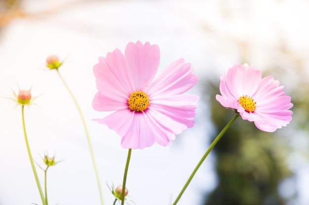 Красивые розовые цветы космоса в саду Premium Фотографии