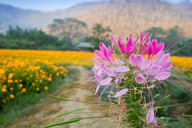 Beautiful pink flower with blur yellow flower garden