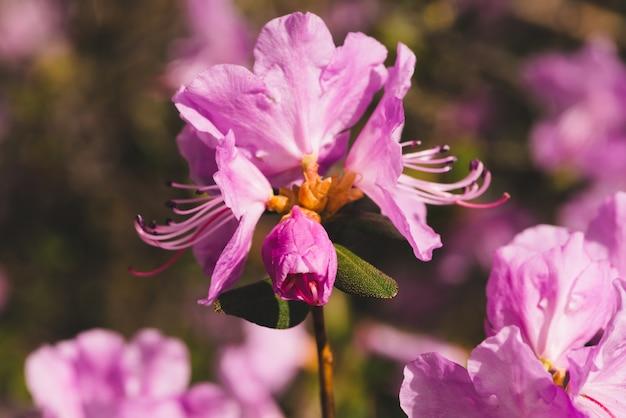 Beautiful pink ledum blooming close up. Premium Photo