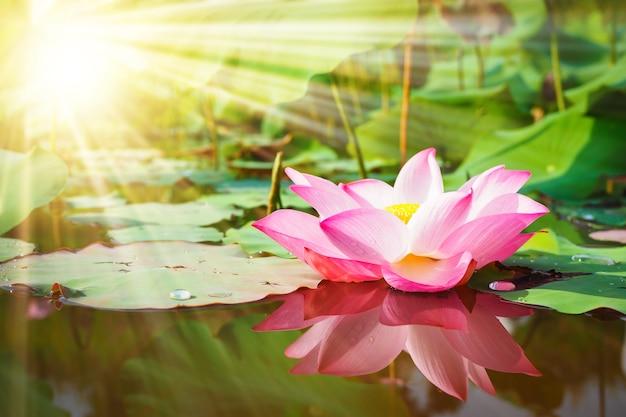 Красивый розовый цветок лотоса в природе с восходом солнца для фона | Премиум Фото