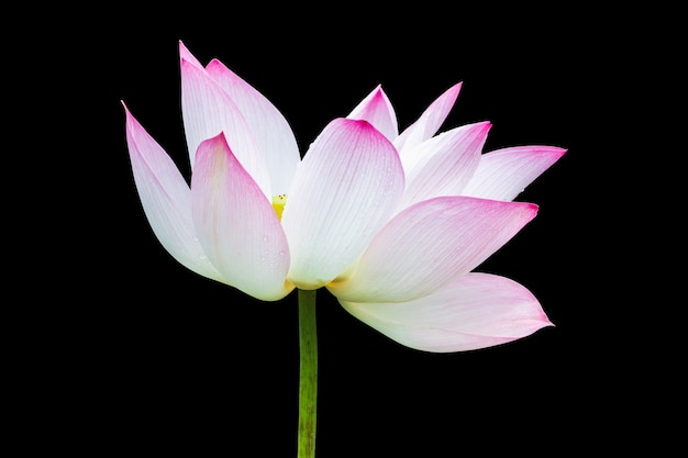 Beautiful pink lotus flower isolated on black . Premium Photo