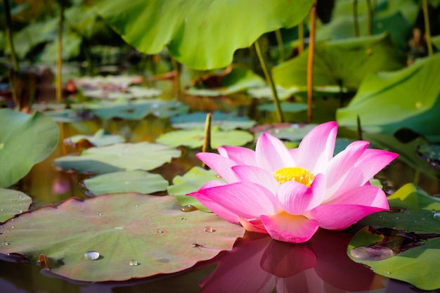 Beautiful pink lotus flower in nature for backgroundv Premium Photo