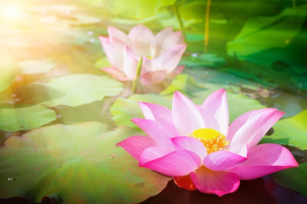 Beautiful pink lotus flower in nature with sunrise for background Premium Photo