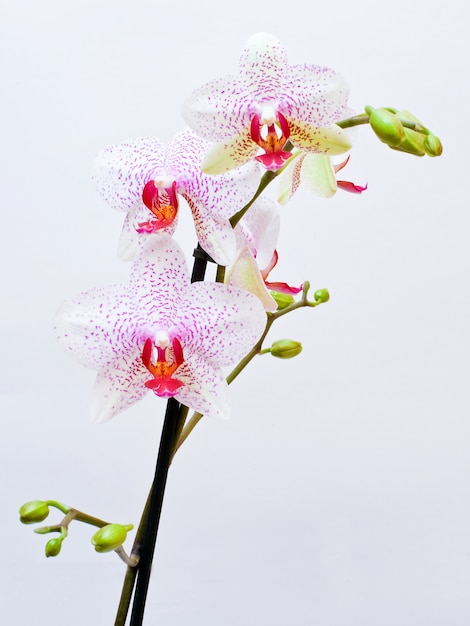 Beautiful pink orchid, isolated on a white background. Premium Photo