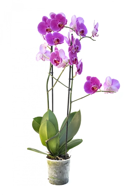 Beautiful pink orchid isolated Premium Photo