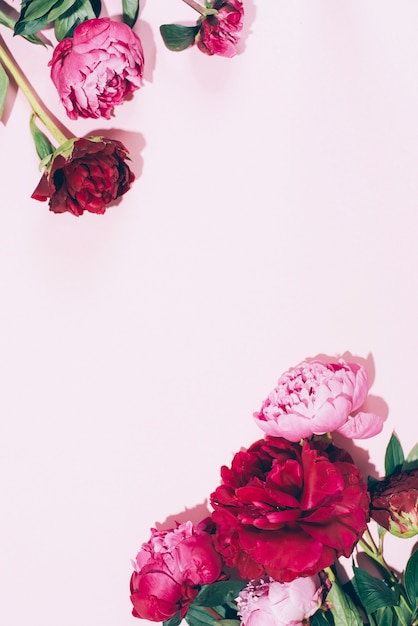 Beautiful pink peony flowers with hard shadow on pastel background Premium Photo