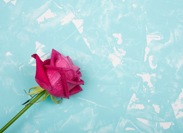 Beautiful pink and red rose on a blue marble background Premium Photo