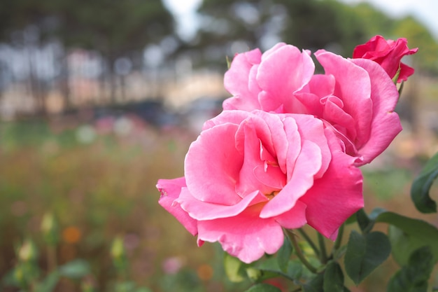 Beautiful pink rose in garden with bokeh blurred background Premium Photo