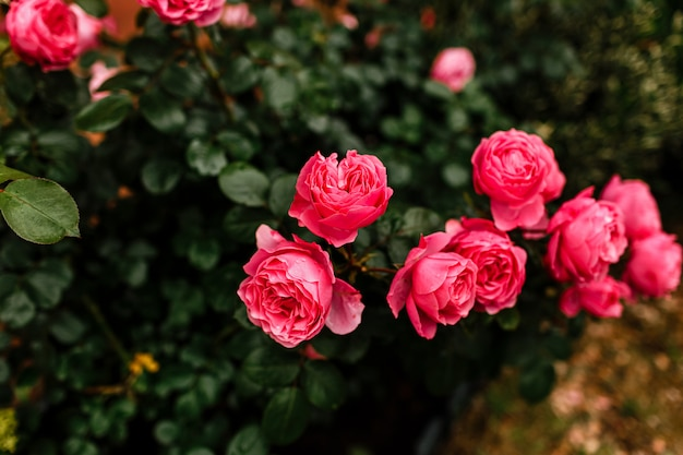 Beautiful pink rosebush in the garden on a sunny day. blooming garden roses and buds. Premium Photo