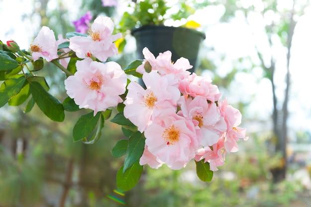 정원에서 아름 다운 핑크 장미 프리미엄 사진