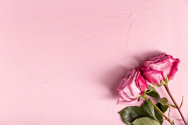 Beautiful pink roses with copy space Free Photo