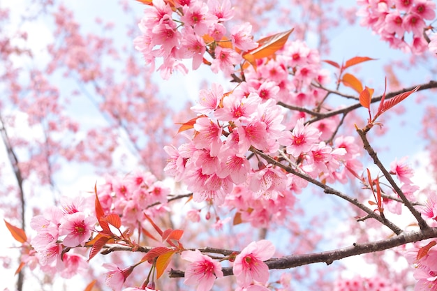Beautiful pink sakura flower wild himalayan cherry blossoms in beautiful pink sakura flower wild himalayan cherry blossoms in spring season premium photo mightylinksfo