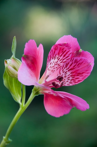 Beautiful pink spotted flower Premium Photo