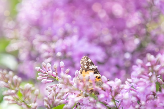 Beautiful pink violet lilac syringa flowers and fluttering butterfly on nature outdoors, close-up macro. magic artistic image. toned in sunny light tones. Premium Photo