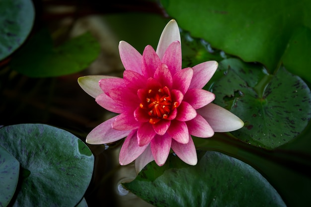 A beautiful pink waterlily or lotus flower in pond Premium Photo