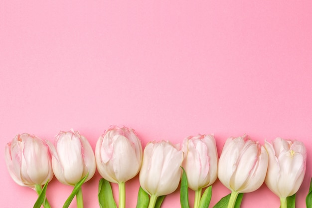 Beautiful pink and white tulips on pink background Premium Photo