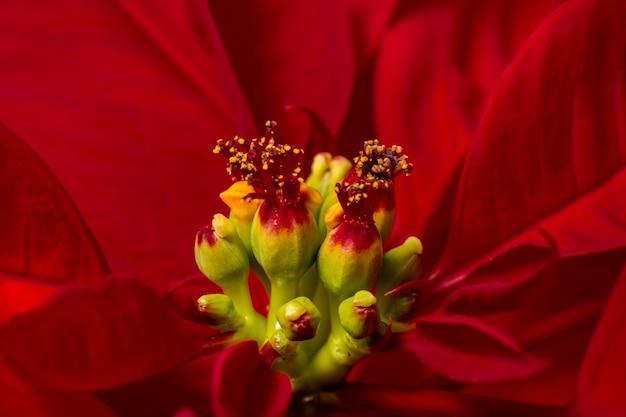Beautiful poinsettia (euphorbia pulcherrima) flower. Premium Photo