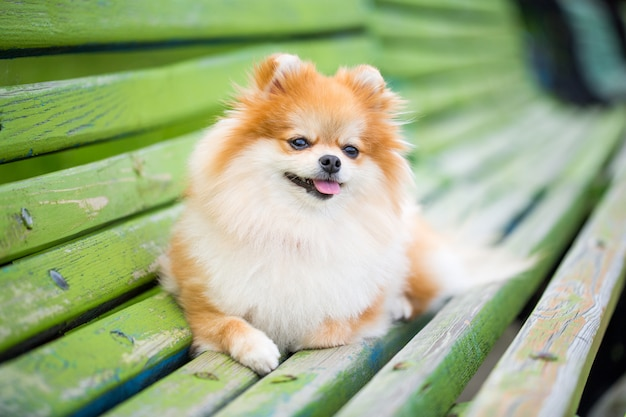 Beautiful pomeranian spitz orange color. Premium Photo