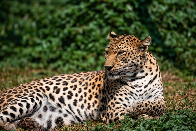 A beautiful portrait leopard Premium Photo