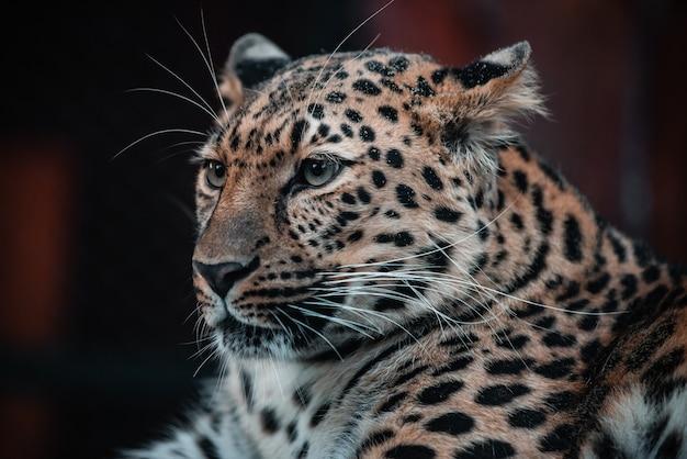 略奪的な動物の美しい肖像画。ヒョウ。男性。 Premium写真