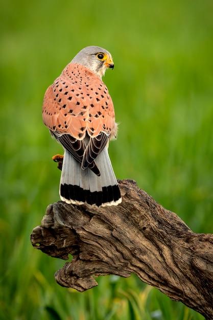 Beautiful profile of a kestrel in the nature Premium Photo