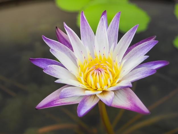 Beautiful purple lotus in the morning light. Premium Photo