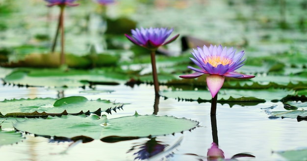 Beautiful purple lotus, a water lily flower in pond Premium Photo
