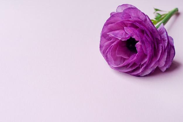 分離された美しい紫色のラナンキュラスの花 Premium写真