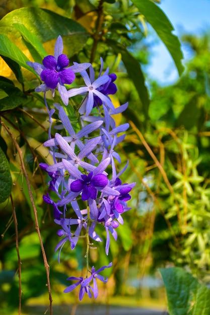 Beautiful purple wreath vine or queen's wreath vine flower on blurred background Premium Photo
