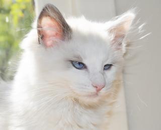 Красивый котенок ragdoll Бесплатные Фотографии