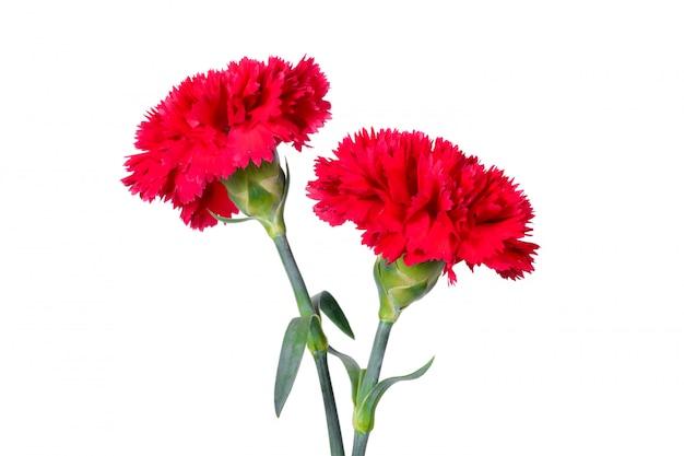 Beautiful red carnation flowers Premium Photo