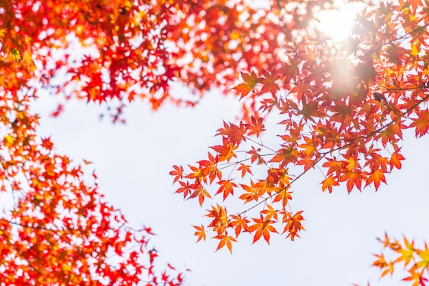 Beautiful red and green maple leaf on tree Free Photo