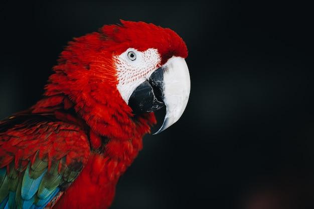 暗闇の中で美しい赤いコンゴウインコのオウム Premium写真