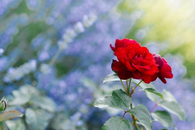 Красивые красные мини-розы в саду летом. копировать пространство Premium Фотографии