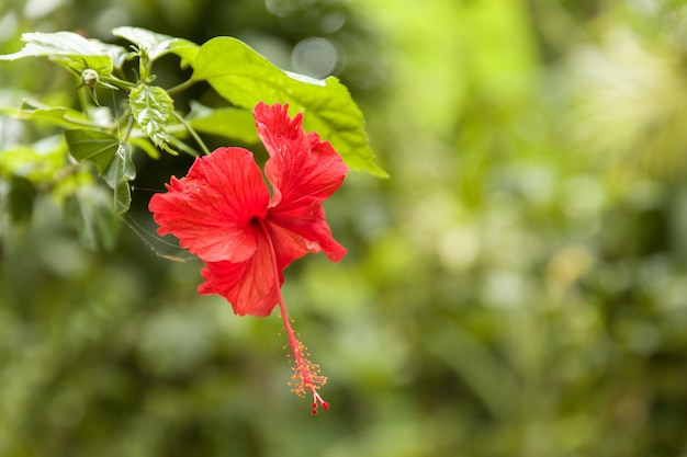 Beautiful red-petaled chinese hibiscus flower with green leaves Free Photo