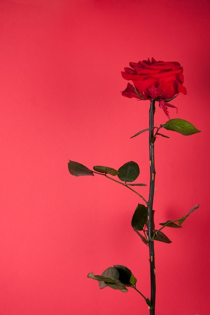 Beautiful red rose on red background Free Photo