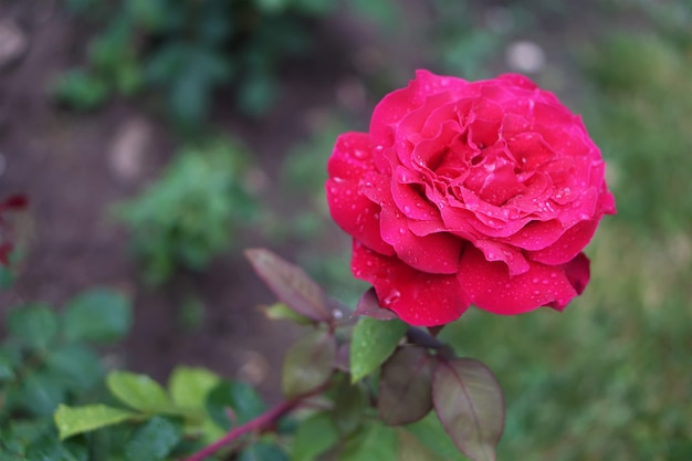 Beautiful red rose Premium Photo