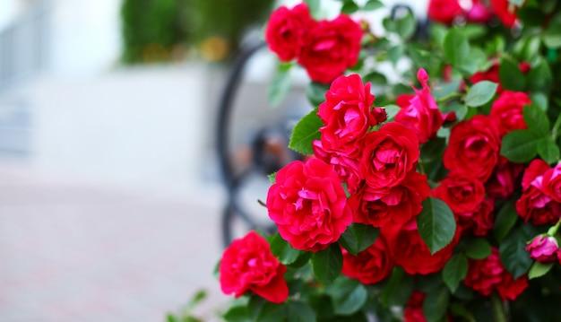 Красивые красные розы в саду Premium Фотографии