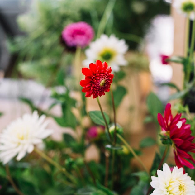 Beautiful Red And White Chrysanthemum Flower Plant Photo Free Download