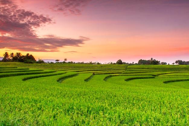 Beautiful rice paddy fields at sunrise in north bengkulu, indonesia Premium Photo