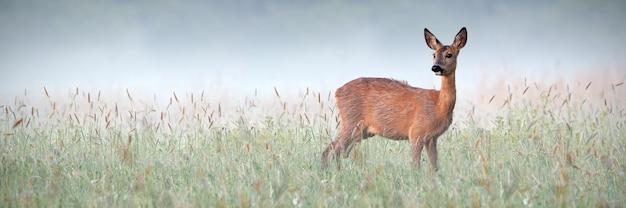 露に濡れた緑の牧草地の周囲を観察する美しいノロジカ Premium写真